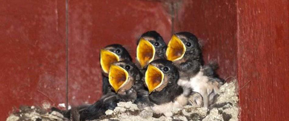 5-Golondrinas-en-el-nido-con-boca-abierta