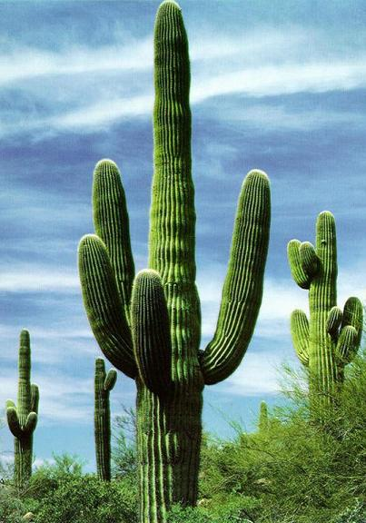 Cactus en el desierto - Informacion sobre los cactus ...